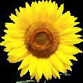 cropped-Sonnenblume-Kopf-original-2.png